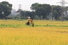 Τομέας ρυζιού στην εποχή συγκομιδών στοκ εικόνες