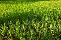 Τομέας ρυζιού στην Ινδία Στοκ Εικόνες