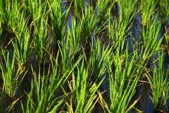 Τομέας ρυζιού στην Ινδία Στοκ εικόνα με δικαίωμα ελεύθερης χρήσης