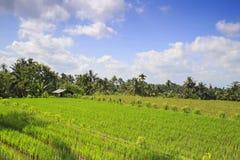 Τομέας ρυζιού στην Ινδονησία Στοκ φωτογραφία με δικαίωμα ελεύθερης χρήσης