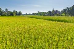 Τομέας ρυζιού στην Καμπότζη Στοκ εικόνα με δικαίωμα ελεύθερης χρήσης