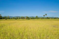 Τομέας ρυζιού στην Καμπότζη Στοκ εικόνες με δικαίωμα ελεύθερης χρήσης
