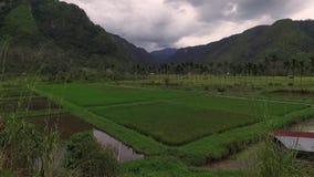 Τομέας ρυζιού στην κοιλάδα Harrau απόθεμα βίντεο