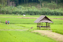 Τομέας ρυζιού στη βόρεια περιοχή της Ταϊλάνδης Στοκ Εικόνες