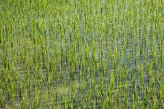 Τομέας ρυζιού στη νέα εποχή φύτευσης Στοκ Φωτογραφία