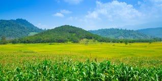 Τομέας ρυζιού στο Βιετνάμ στο καλοκαίρι Στοκ εικόνα με δικαίωμα ελεύθερης χρήσης