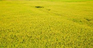 Τομέας ρυζιού στο Βιετνάμ στο καλοκαίρι Στοκ Εικόνες