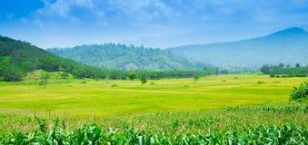 Τομέας ρυζιού στο Βιετνάμ στο καλοκαίρι Στοκ Φωτογραφίες