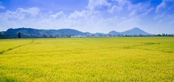 Τομέας ρυζιού στο Βιετνάμ στο καλοκαίρι Στοκ φωτογραφία με δικαίωμα ελεύθερης χρήσης