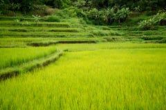Τομέας ρυζιού στο Βιετνάμ στο καλοκαίρι Στοκ εικόνες με δικαίωμα ελεύθερης χρήσης