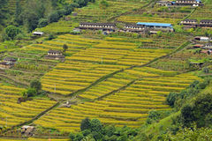 Τομέας ρυζιού στο Νεπάλ Στοκ Εικόνες