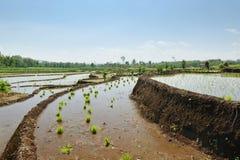 Τομέας ρυζιού στοκ εικόνες με δικαίωμα ελεύθερης χρήσης