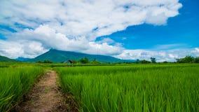 Τομέας ρυζιού της Ταϊλάνδης Στοκ φωτογραφία με δικαίωμα ελεύθερης χρήσης