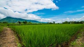 Τομέας ρυζιού της Ταϊλάνδης Στοκ Φωτογραφία