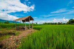Τομέας ρυζιού της Ταϊλάνδης Στοκ Φωτογραφίες