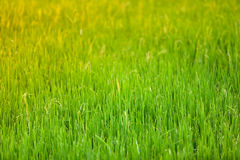 Τομέας ρυζιού Στοκ Φωτογραφία