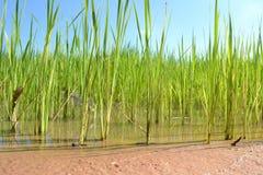 Τομέας ρυζιού Στοκ Εικόνες