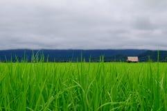 Τομέας ρυζιού Στοκ φωτογραφία με δικαίωμα ελεύθερης χρήσης