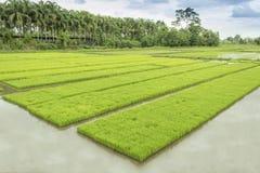 Τομέας ρυζιού. Στοκ Εικόνα