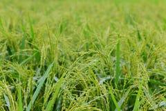 Τομέας ρυζιού Στοκ φωτογραφίες με δικαίωμα ελεύθερης χρήσης