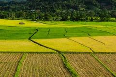 Τομέας ρυζιού Στοκ Φωτογραφίες