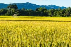 Τομέας ρυζιού Στοκ εικόνα με δικαίωμα ελεύθερης χρήσης