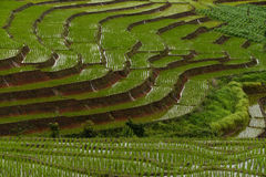 Τομέας ρυζιού Erraced στη Mae Cham, Chiangmai Στοκ Φωτογραφίες