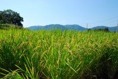 Τομέας ρυζιού Japnese Στοκ εικόνα με δικαίωμα ελεύθερης χρήσης