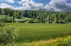 Τομέας σίκαλης στη Φινλανδία στοκ εικόνες