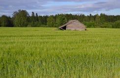 Τομέας σίκαλης στη Φινλανδία Στοκ Φωτογραφία