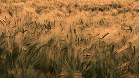 Τομέας σίτου ή κριθαριού που φυσά στον αέρα στο ηλιοβασίλεμα ή την ανατολή απόθεμα βίντεο