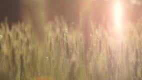 Τομέας σίτου αναμμένος από το φως του ήλιου, συγκομιδή από το πλούσιο εύφορο έδαφος, οργανική τροφή απόθεμα βίντεο