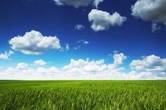 Τομέας σίτου ενάντια στο μπλε ουρανό με τα άσπρα σύννεφα Η γεωργία Στοκ Εικόνα