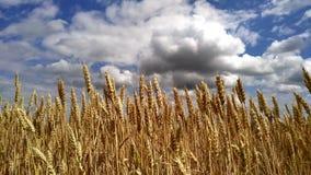 Τομέας σίτου κάτω από το μπλε ουρανό στην ηλιόλουστη θερινή ημέρα Χρυσός τομέας σίτου απόθεμα βίντεο