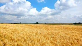 Τομέας σίτου κάτω από το μπλε ουρανό στην ηλιόλουστη θερινή ημέρα Χρυσός τομέας σίτου που φυσά από τον αέρα Τοπίο φύσης φιλμ μικρού μήκους