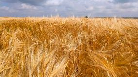 Τομέας σίτου κάτω από το μπλε ουρανό στην ηλιόλουστη θερινή ημέρα Χρυσός τομέας σίτου που φυσά από τον αέρα Τοπίο φύσης απόθεμα βίντεο