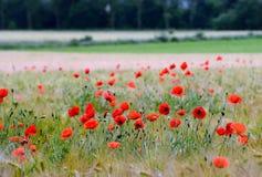 Τομέας σίτου με τα λουλούδια παπαρουνών Στοκ φωτογραφία με δικαίωμα ελεύθερης χρήσης