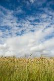 Τομέας σίτου με τα σύννεφα ανωτέρω Στοκ φωτογραφία με δικαίωμα ελεύθερης χρήσης