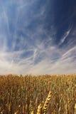 Τομέας σίτου με τον ουρανό μπλε Στοκ φωτογραφία με δικαίωμα ελεύθερης χρήσης