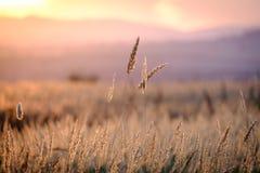 Τομέας σίτου, όμορφη αγροτική σκηνή φύσης Στοκ εικόνες με δικαίωμα ελεύθερης χρήσης