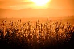 Τομέας σίτου, όμορφη αγροτική σκηνή φύσης Στοκ Εικόνες
