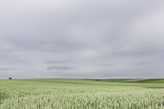 Τομέας σίτου Στοκ Φωτογραφία