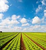 Τομέας σαλάτας και ένας μπλε ουρανός Στοκ Φωτογραφία