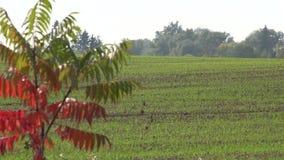 Τομέας σιταριού δημητριακών γεωργίας πριν από το χειμώνα 4K απόθεμα βίντεο