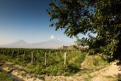 Τομέας σταφυλιών στην κοιλάδα Ararat Η άποψη Khor Virap και τοποθετεί Arara Στοκ Φωτογραφία