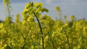 Τομέας συναπόσπορων, ανθίζοντας λουλούδια canola κοντά επάνω καλοκαίρι βιασμών πεδίων Φωτεινό κίτρινο πετρέλαιο συναπόσπορων Ανθί απόθεμα βίντεο