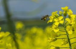 Τομέας συναπόσπορων, βιασμός ελαιοσπόρων, μέλισσα Στοκ εικόνα με δικαίωμα ελεύθερης χρήσης