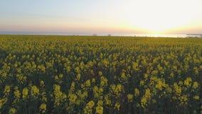 Τομέας συναπόσπορων, κίτρινο ανθίζοντας λιβάδι βιασμών στα όμορφα λουλούδια στο ηλιοβασίλεμα, άποψη κηφήνων απόθεμα βίντεο