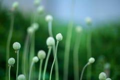 Τομέας τα κεφάλια που μαραίνονται με anemones Μακροεντολή Στοκ Εικόνα