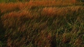 Τομέας της άγριας χλόης που κυματίζει στον αέρα αναδρομικά φωτισμένο από το φως του ήλιου ηλιοβασιλέματος φιλμ μικρού μήκους